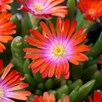 Delosperma Plants - Jewel of the Desert Sunstone