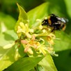 Diervilla rivularis HONEYBEE (PBR)