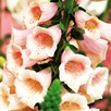 Digitalis Plant - Dalmatian  Peach