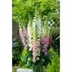 Digitalis Seeds - Candy Mountain Mixed