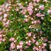 Escallonia Apple Blossom