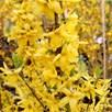 Forsythia 'Goldrausch'