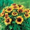 Gaillardia Seeds - Primavera Bicolour