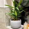 Lesser Galangal Plant - P12