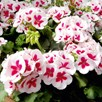 Geranium Plants - Americana White Splash