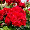 Geranium Great Balls of Fire Plants - Deep Red