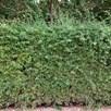 Crataegus monogyna (Hawthorn) Plant