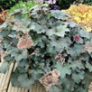 Heuchera Plant - Palace Purple
