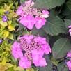 Hydrangea Plant - Endless Summer Twist 'N' Shout 3 Litre Pot x 1