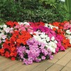 Impatiens Plants - F1 Dezire Mixed