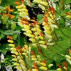 Ipomoea lobata - Jungle Queen (Mina lobata)