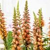 Isoplexis Plant - Bella
