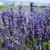 Lavender Seeds - Provence Blue