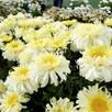 Leucanthemum Plant - Real Charmer 2Ltr