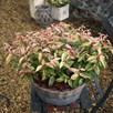 Leucothoe fontanesiana Plant - 'Makijaz'