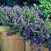 Lithodora Plant - Heavenly Blue