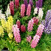 Lupin Plants - Mini Gallery Mix