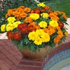 Marigold Plants - Durango Mixed