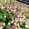 Nemesia Seeds - Dobies Heaven Scent