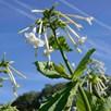 Nicotiana Seeds - Affinis