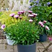 Osteospermum Sennen Sunrise Plants