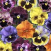 Pansy - Frizzle Sizzle Mix
