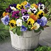 Primula & Pansy Plants - Mix
