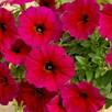 Super Petunia (Beautical) Plants - Bordeaux