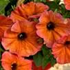 Super Petunia (Beautical) Plants - Cinnamon