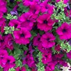 Petunia Plants - Surfinia Purple
