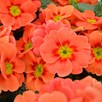 Primula Plants - Ringo Star Orange Red