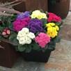 Primula Plants - Rubens Mix
