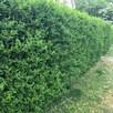 Ligustrum Vulgare (Privet) Plant