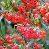 Pyracantha coccinea Plant - Red Star