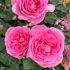 Rose Plant - Mum in a Million