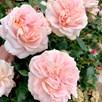 Rose Plant - Joie de Vivre