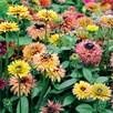Rudbeckia Seeds - Sahara