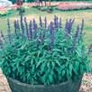Salvia Farinacea Seeds - Victoria