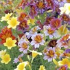 salpiglossis sinuata - little friends