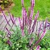 Salvia Caradonna Inspiration Pink (3)