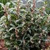 Sarcocca Plant - Winter Gem 2-3 Litre Pot x 1