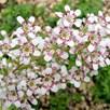 Saxifraga Plant -Southside Seedling