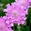 Scabiosa Flutter Rose Pink Plants