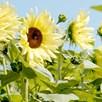 Sunflower - Buttercream F1 -