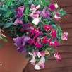 Sweet Pea Seeds - Sweetie Mix
