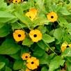 Thunbergia Alata Seeds - Susie