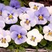 Viola Plants - Yesterday, Today & Tomorrow