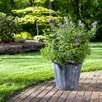 Vitex agnus-castus Plant - 'Blue Puffball®' FIRST EDITIONS®