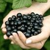 Blackcurrant Plant - Ebony (1)