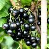 Blackcurrant Little Black Sugar